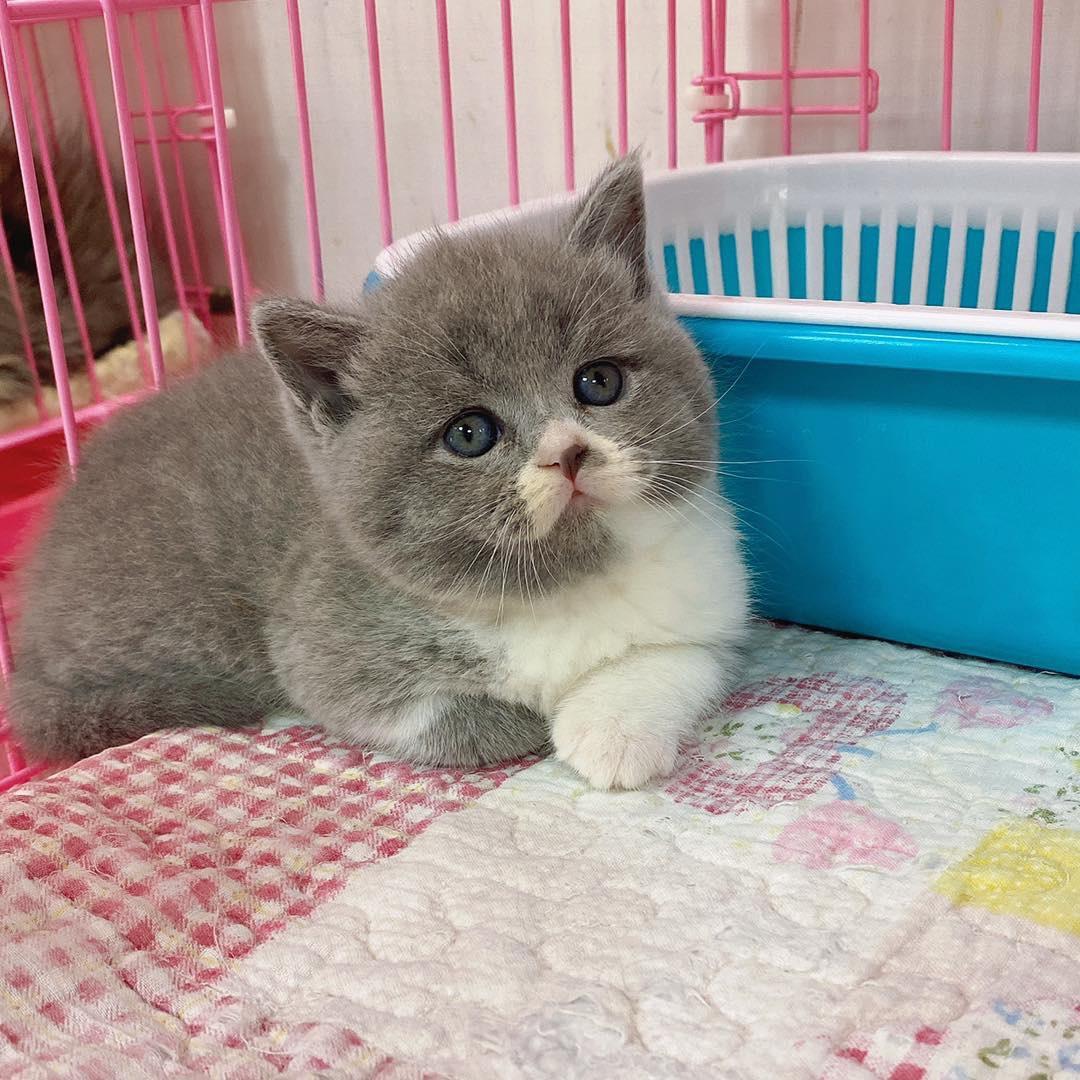 旻利寵物坊/英國短毛貓 藍白妹妹