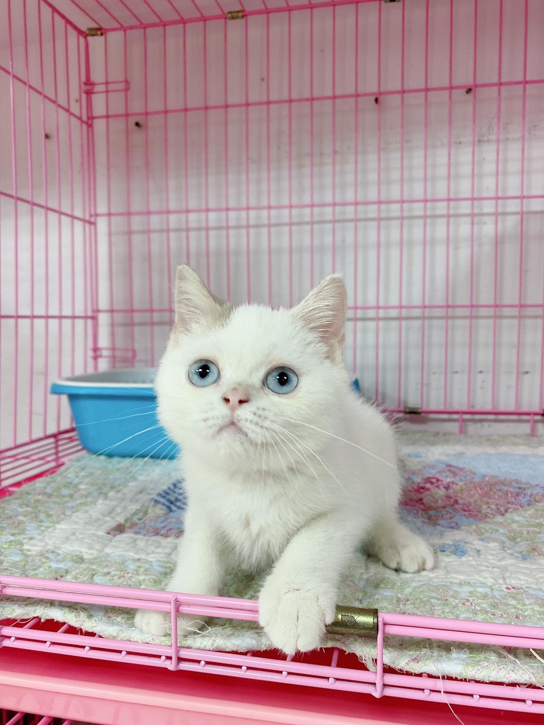 旻利寵物坊/英國短毛貓 紫丁香白弟弟