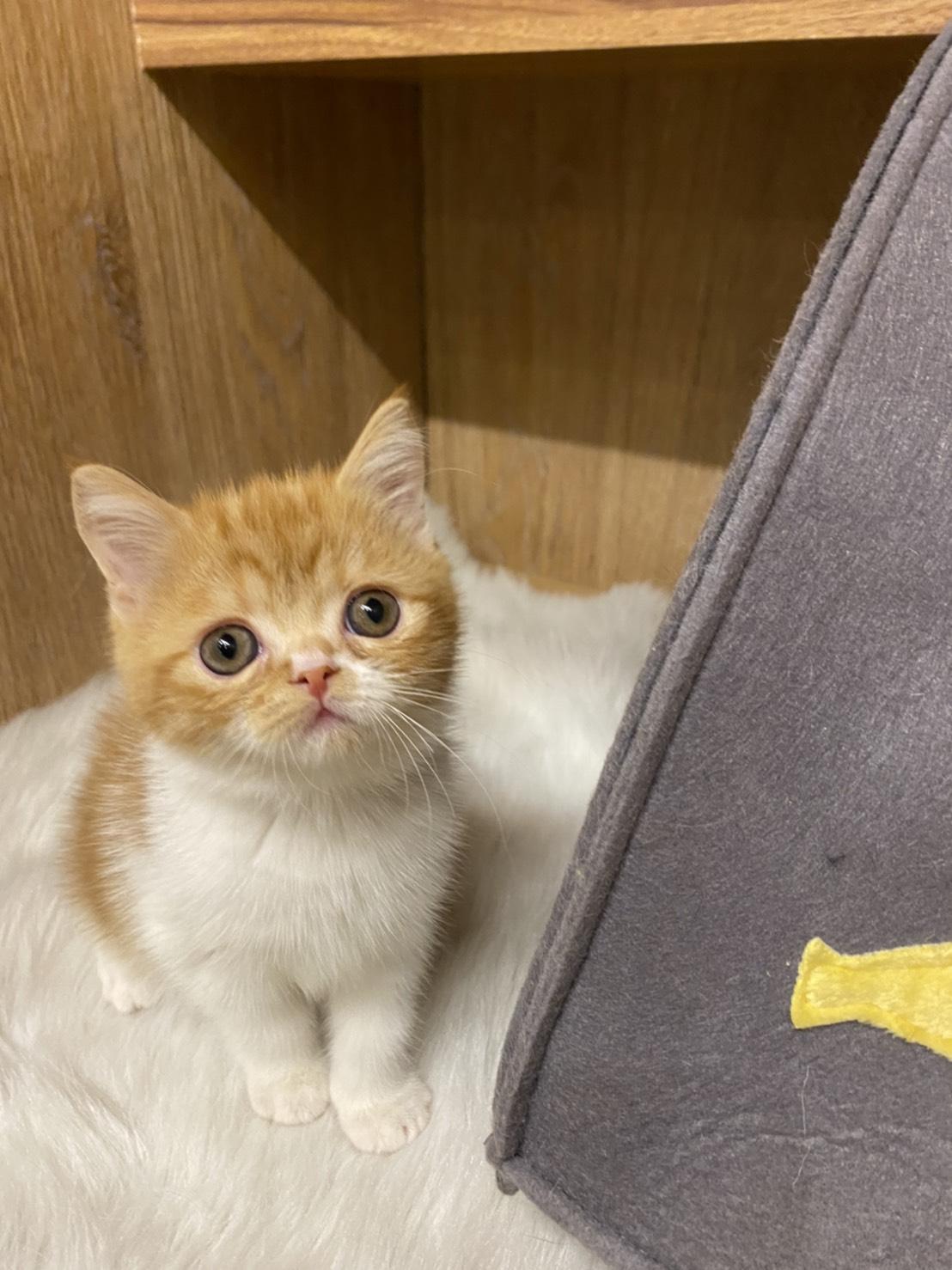 朵貓貓旅館/橘白色 英國短毛貓 女生