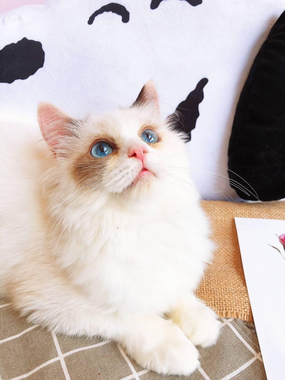 月亮糖糖喵樂園/玳瑁色布偶貓妹妹