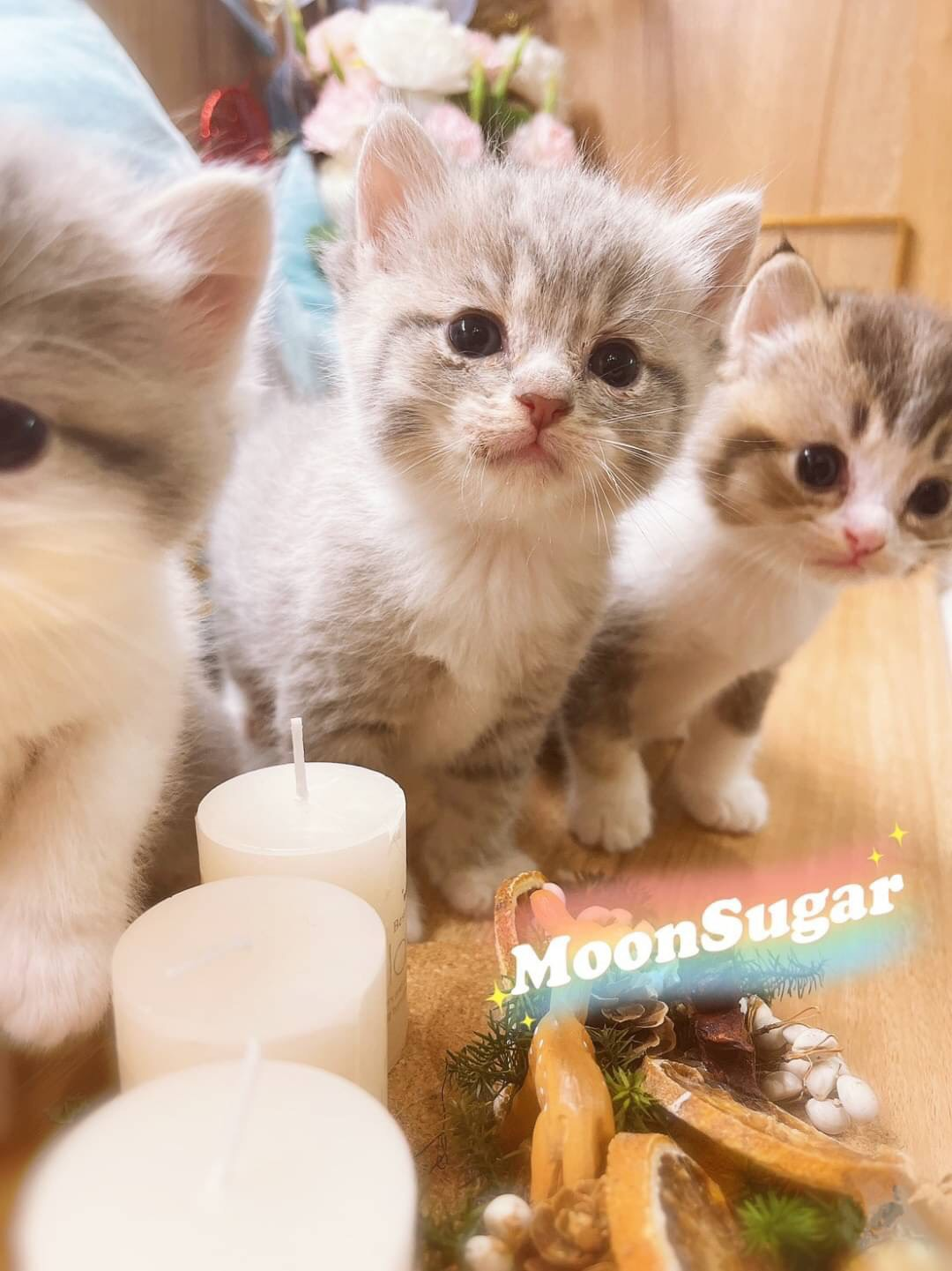 月亮糖糖喵樂園/藍金漸層 黑金漸層 英國短毛貓