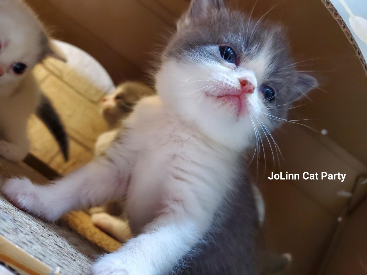 貓咪派對/藍白賓士英國短毛貓