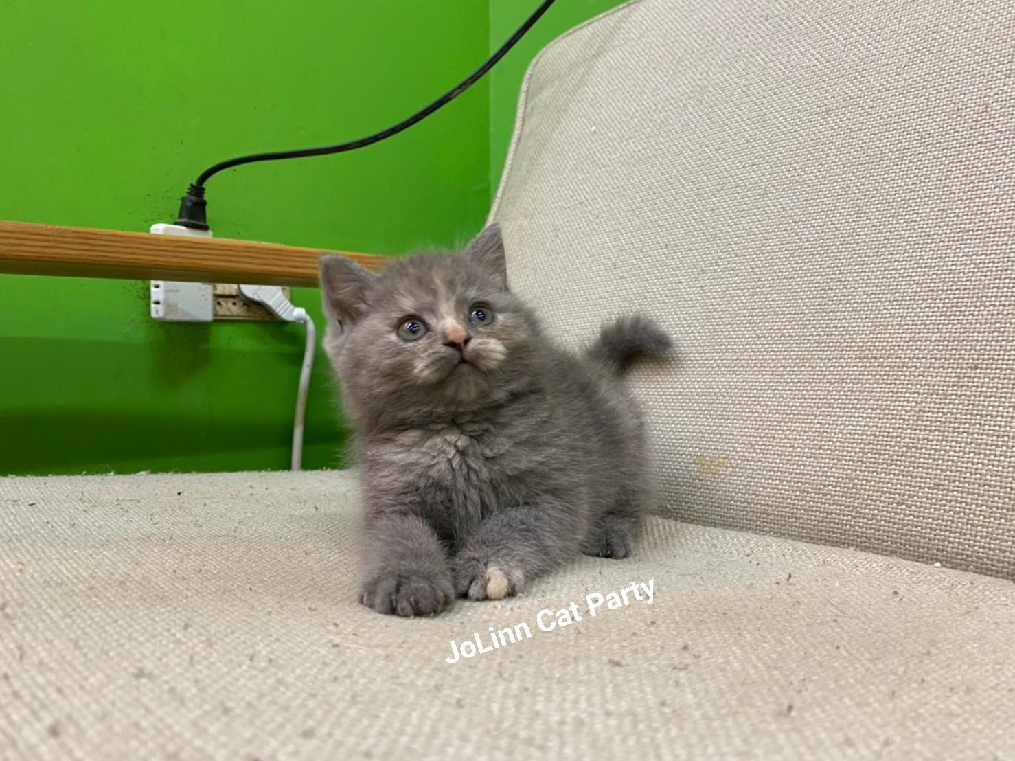 貓咪派對/藍奶油色系英短