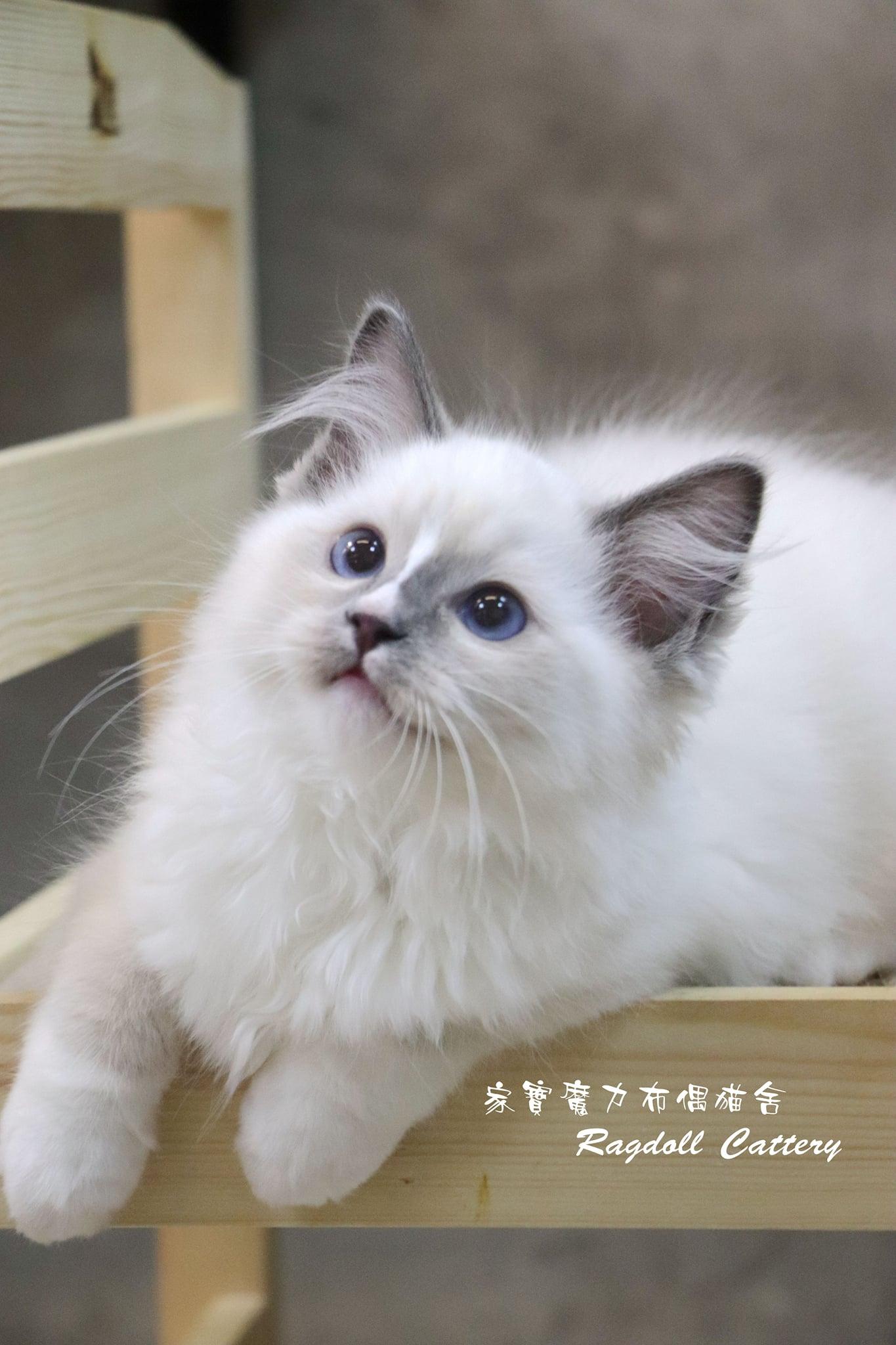 家寶寵物/藍流星手套布偶