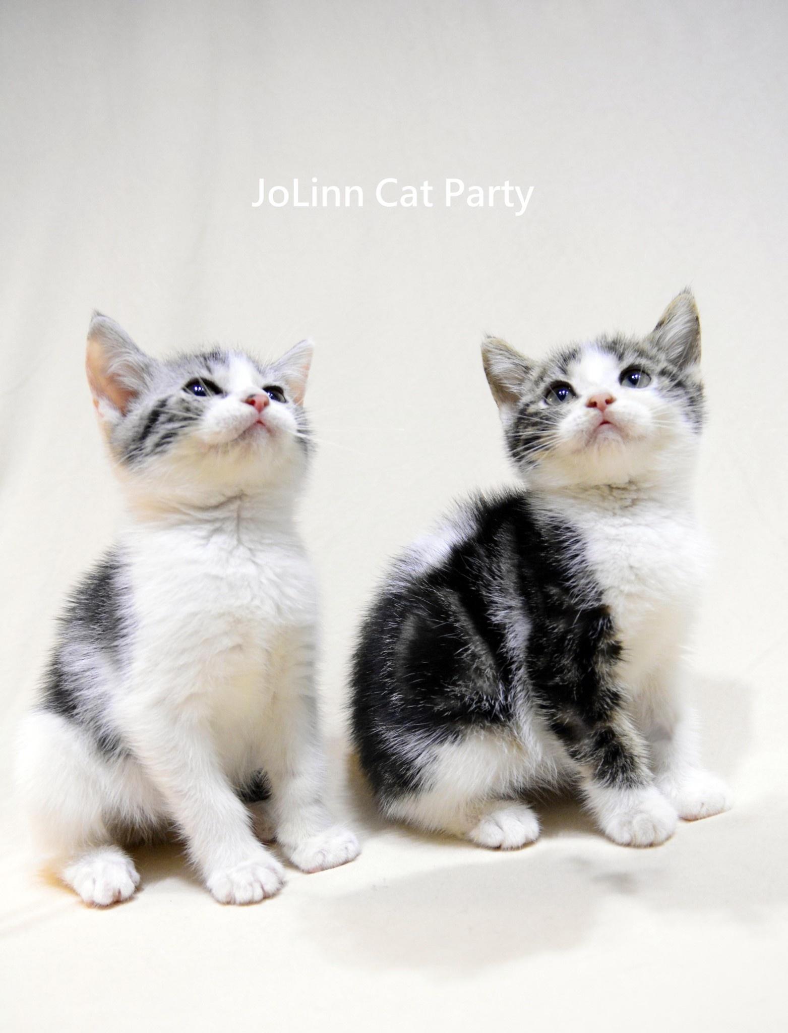 貓咪派對/賓士加白美國短毛貓