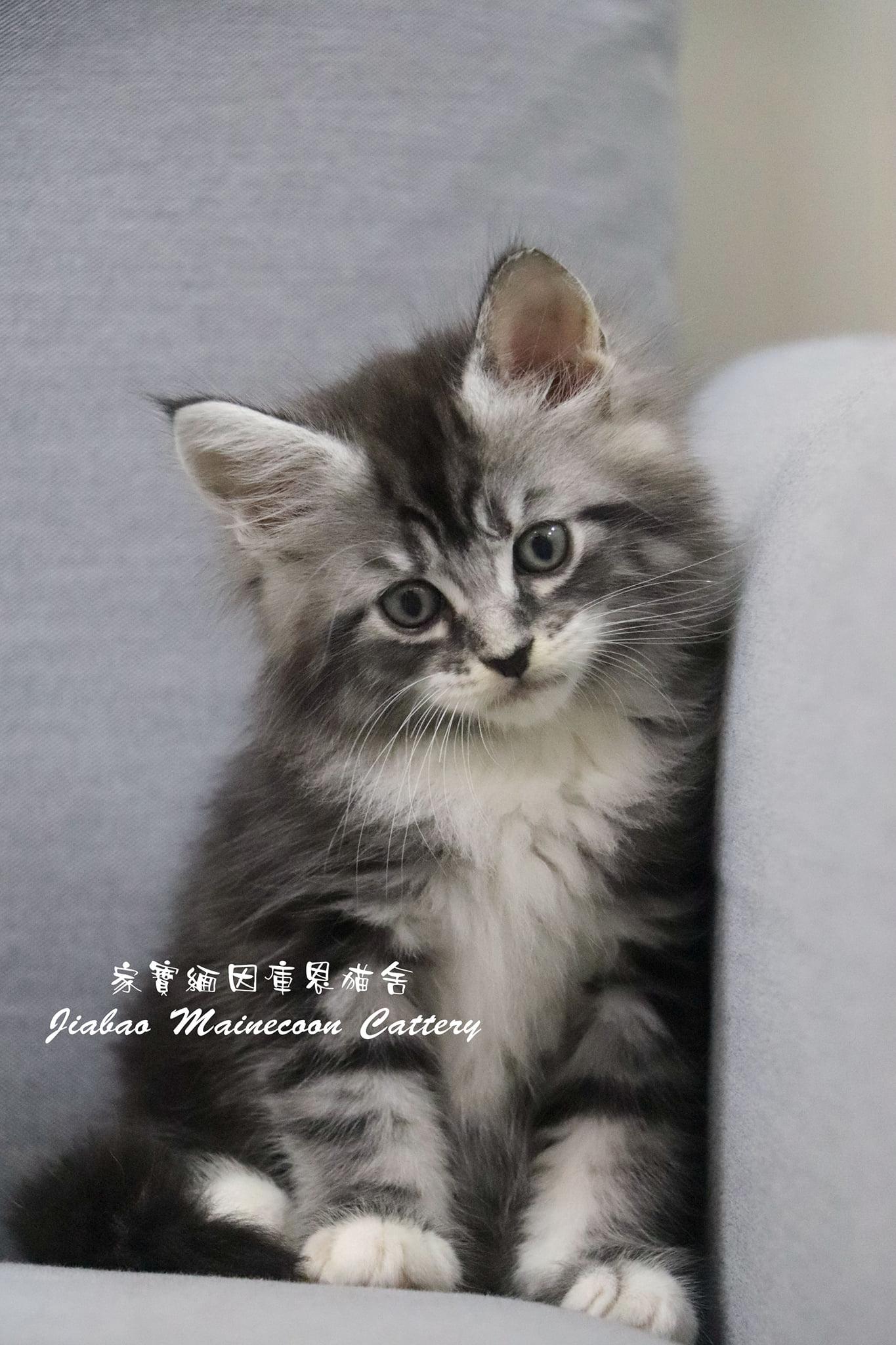 家寶寵物/銀虎斑 緬因貓 男生