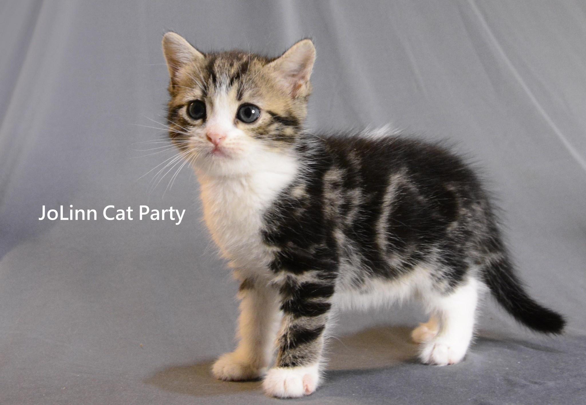 貓咪派對/古典色加白美短