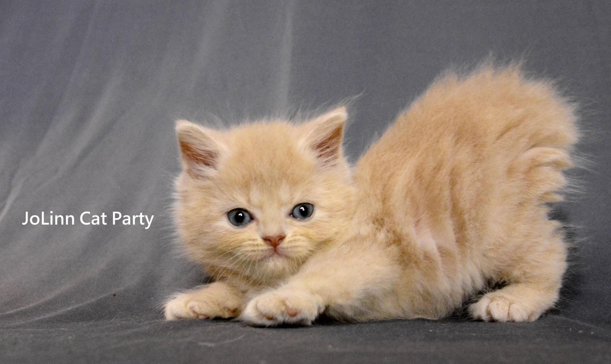 貓咪派對/奶油英短男生