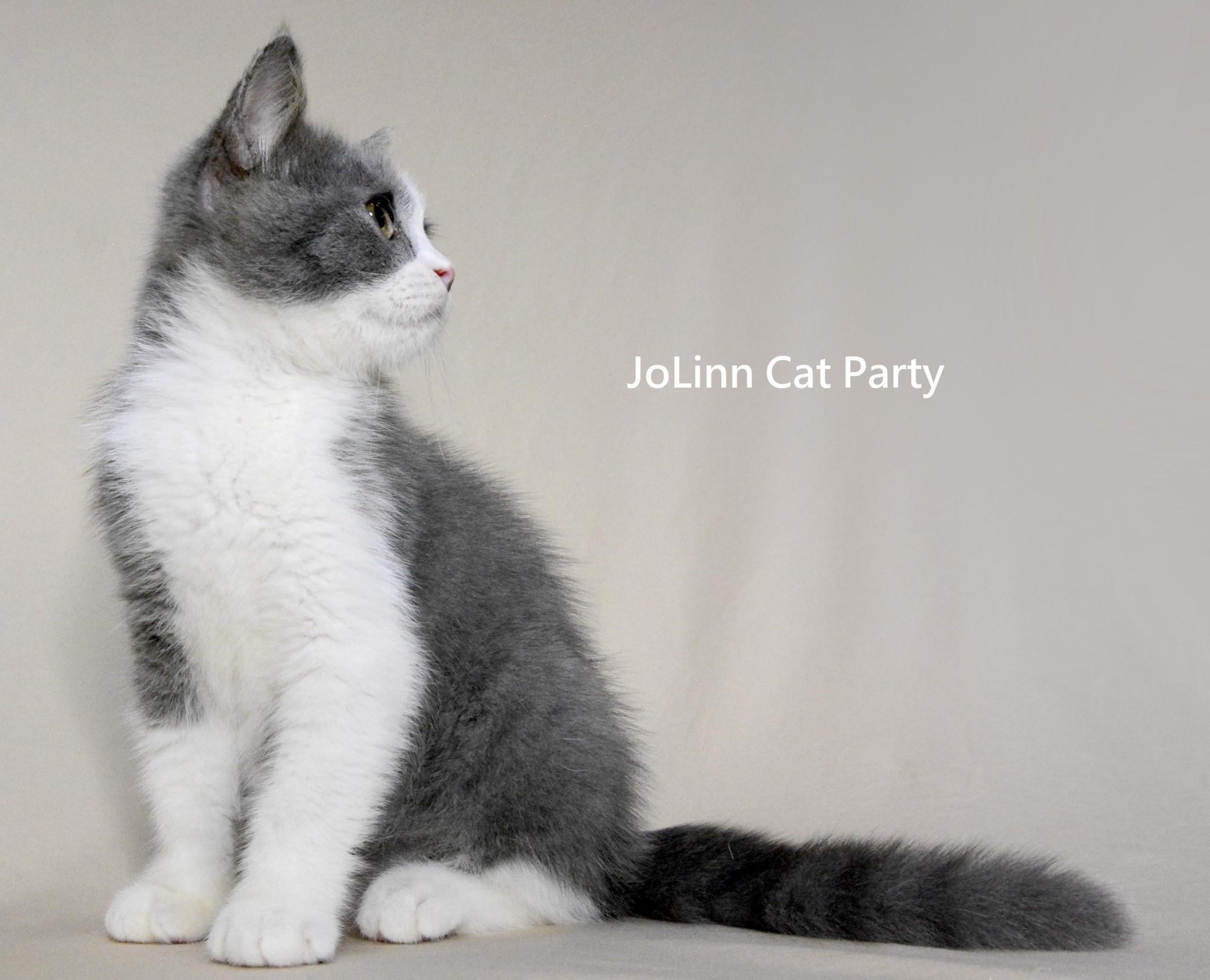 貓咪派對/藍白賓士英短男生