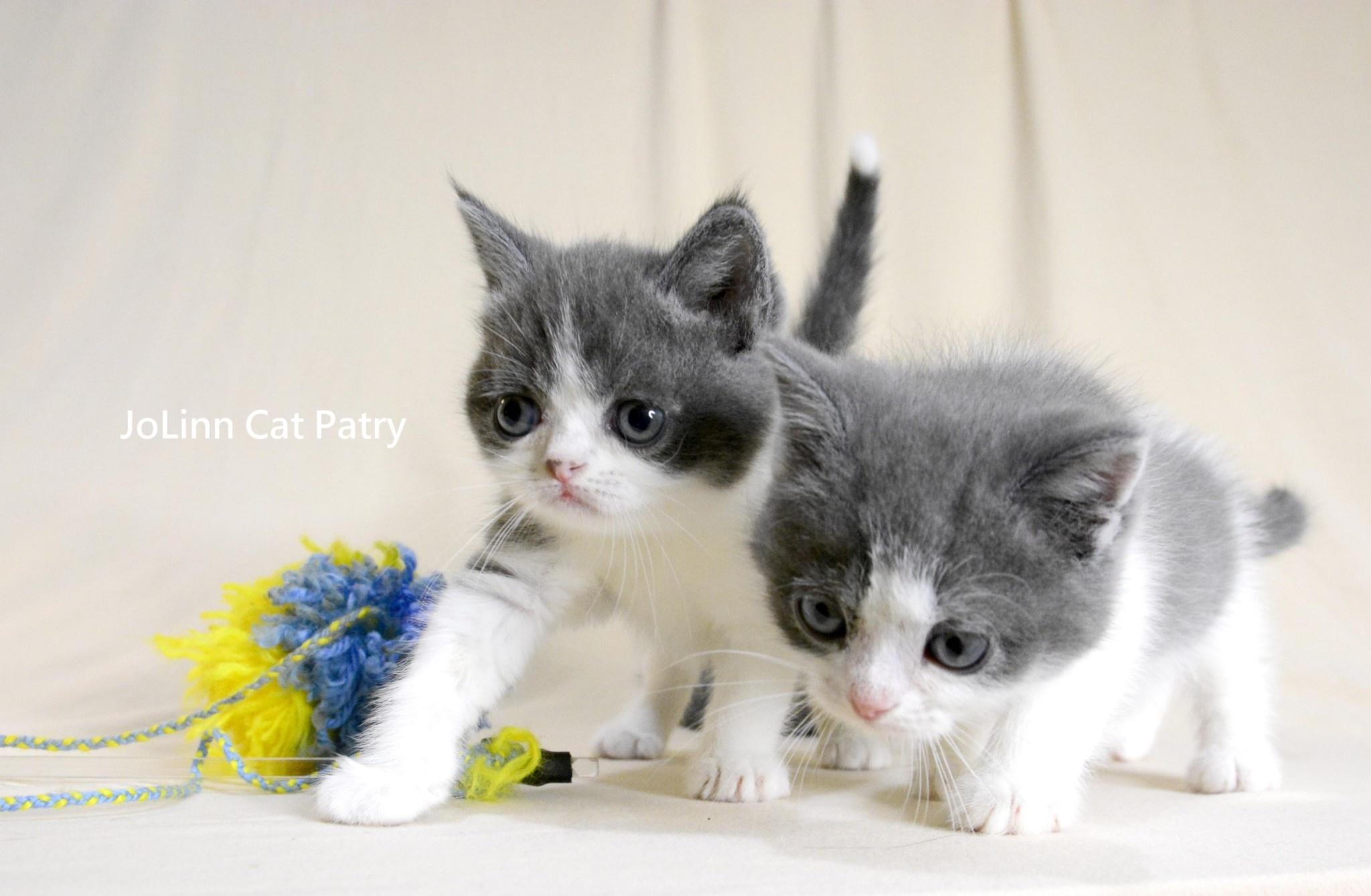 貓咪派對/藍白英短 英國長毛貓