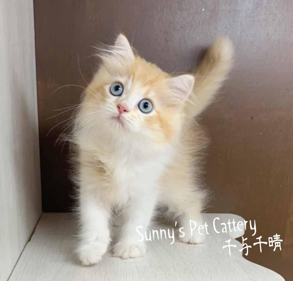 千晴寵物坊/橘白賓士 英國長毛貓