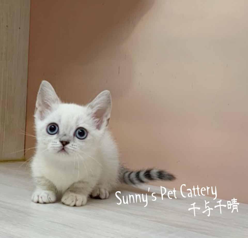千晴寵物坊/藍山貓白手套 小步舞曲
