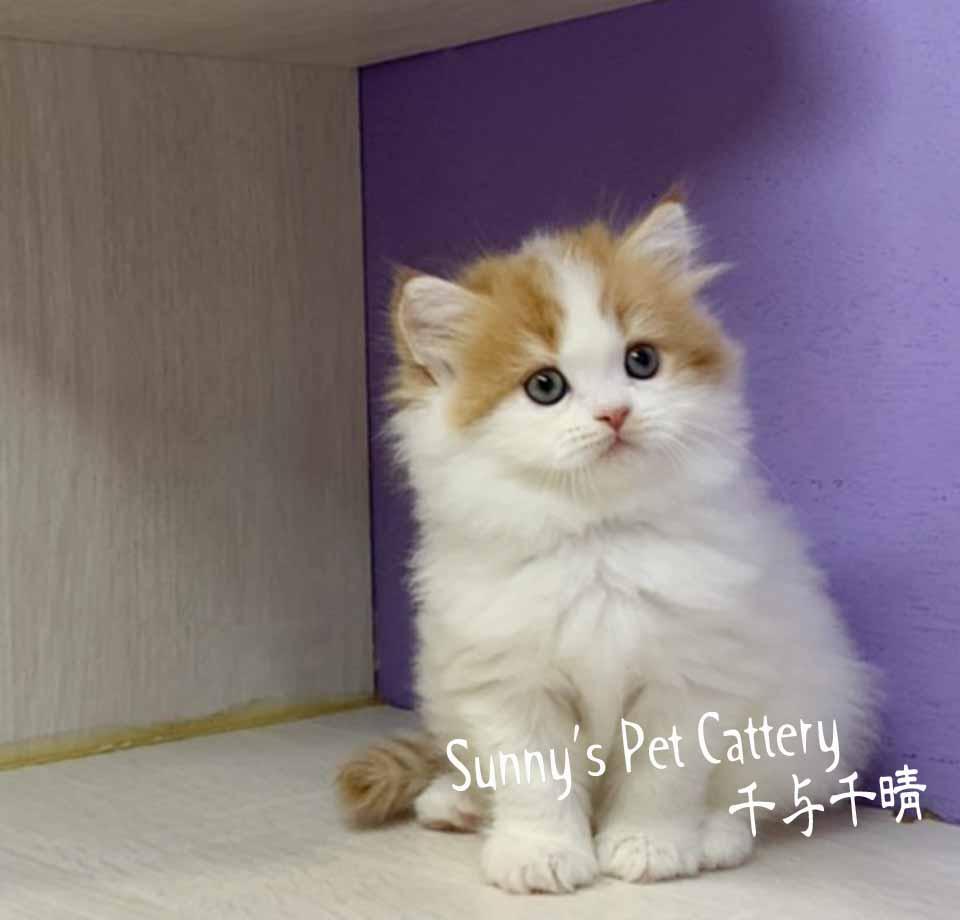 千晴寵物坊/橘白賓士 波斯貓