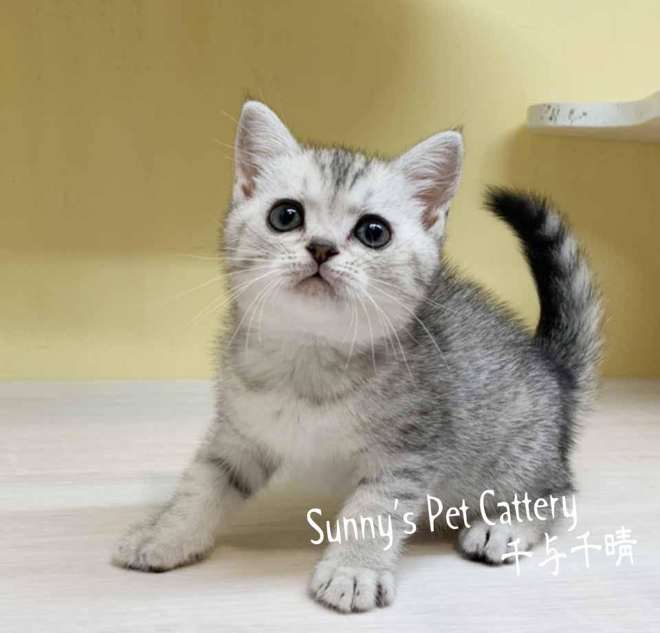 千晴寵物坊/銀白虎斑色英國短毛貓