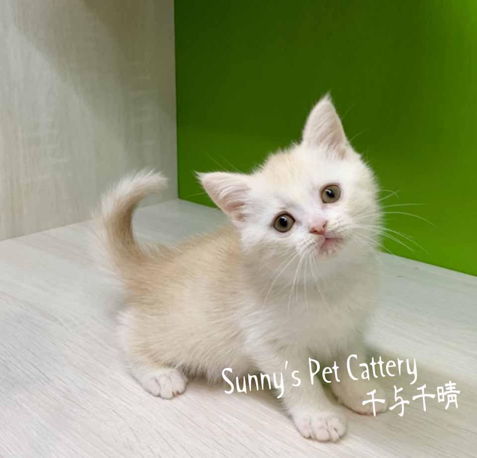 千晴寵物坊/奶油白英國短毛貓