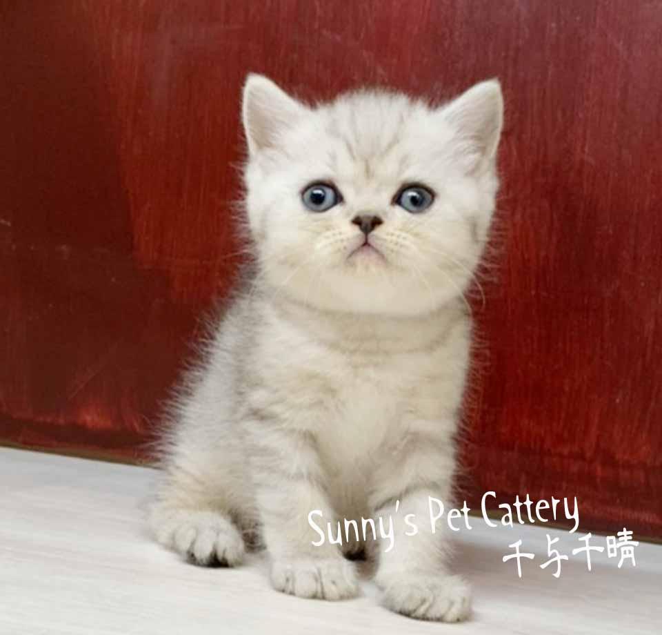 千晴寵物坊/銀虎斑白英國短毛貓