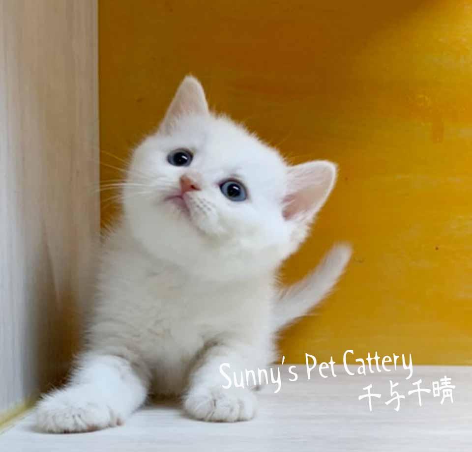 千晴寵物坊/奶油白包子臉英國短毛貓
