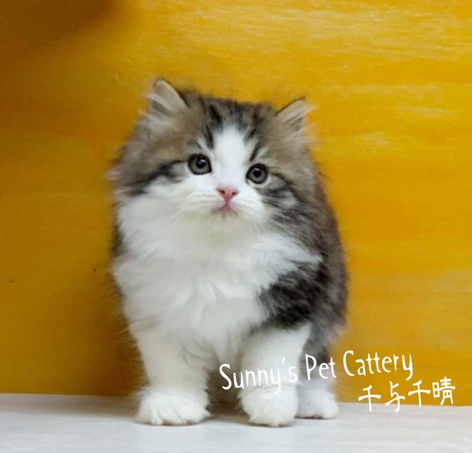 千晴寵物坊/棕虎斑白波斯貓