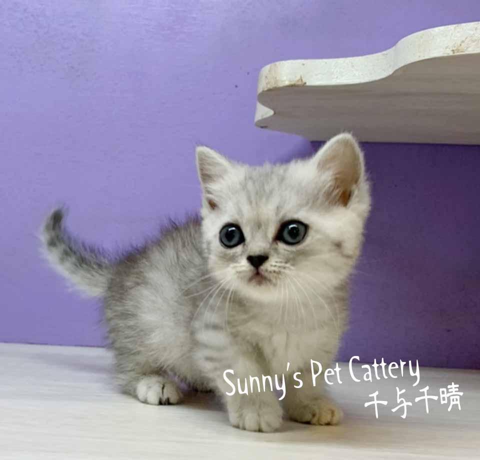 千晴寵物坊/銀白虎斑色曼赤肯短腿貓