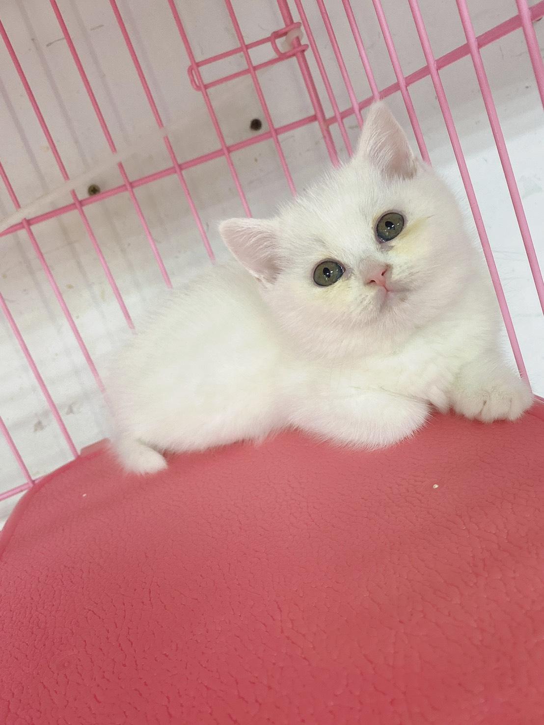 旻利寵物坊/全白 英國短毛貓 弟弟