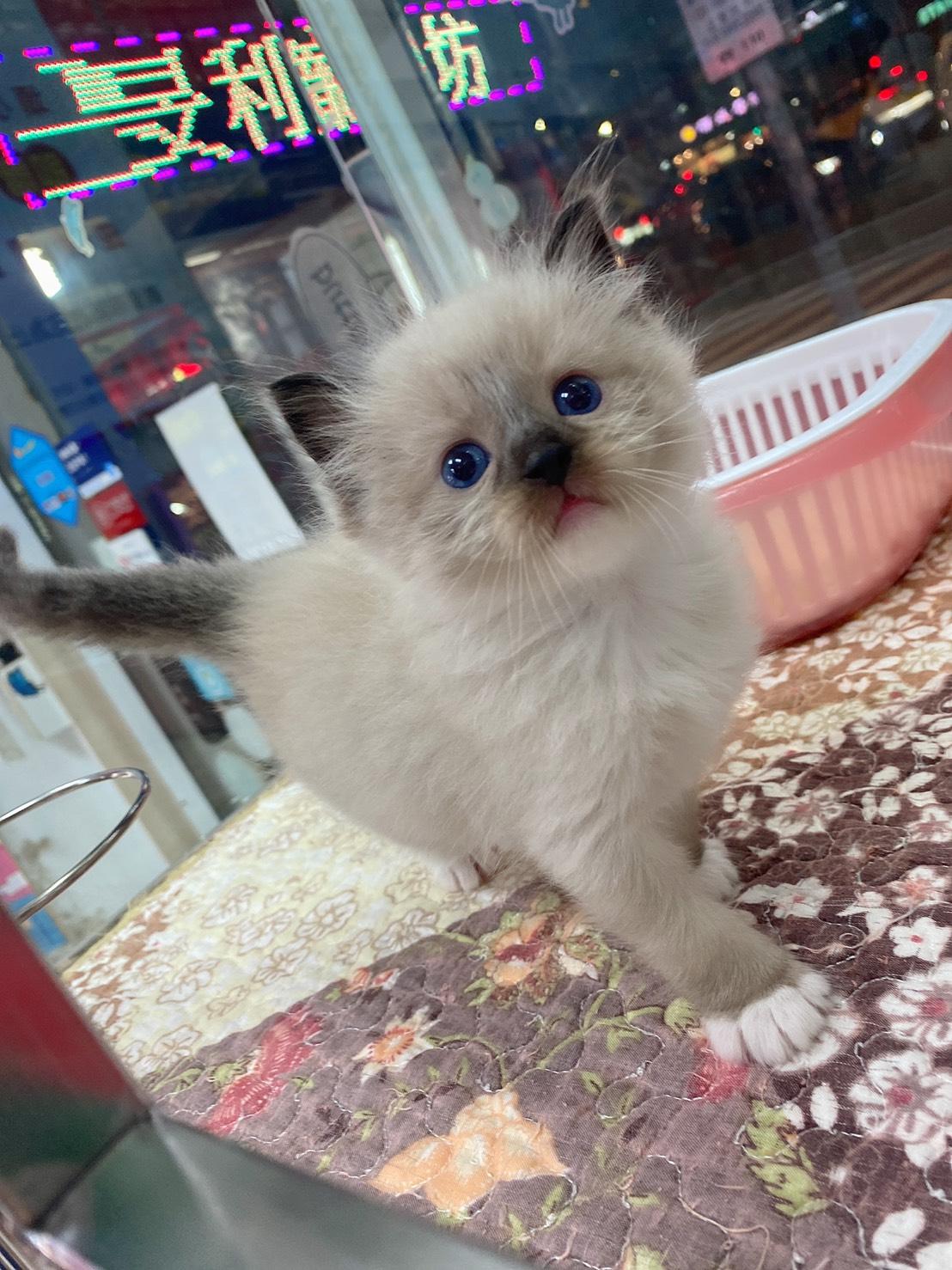 旻利寵物坊/手套色布偶貓妹妹