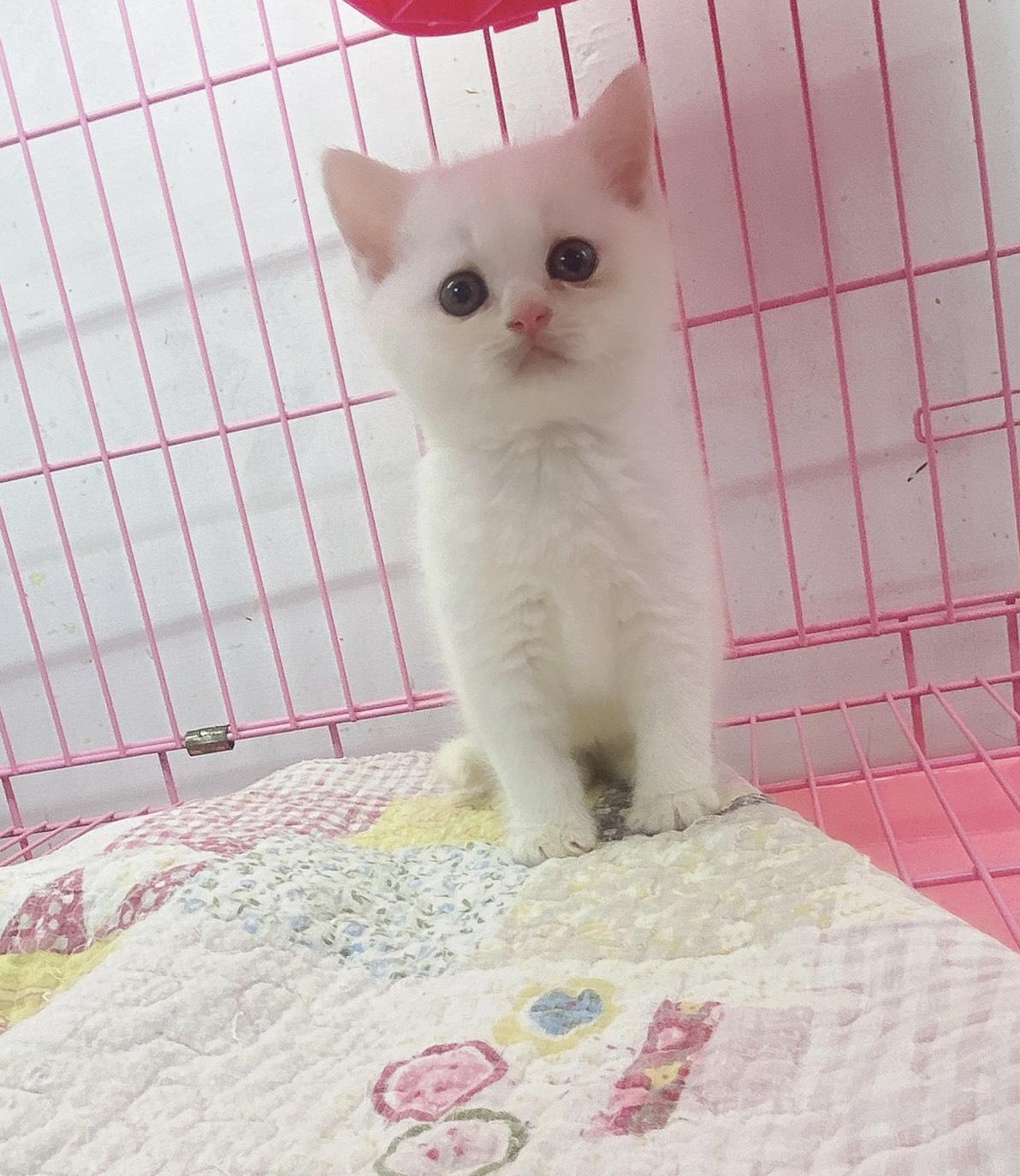 旻利寵物坊/白色英國短毛貓🐱弟弟
