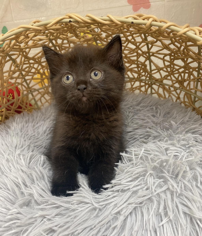 旻利寵物坊/英國短毛貓🐱黑巧克力妹妹