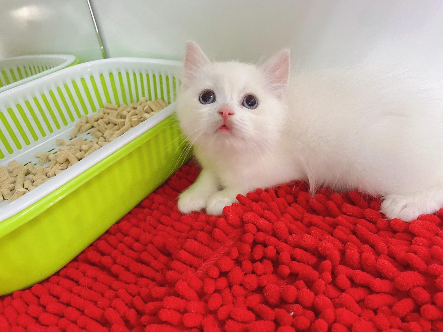 旻利寵物坊/英國短毛貓🐱奶油端子色弟弟