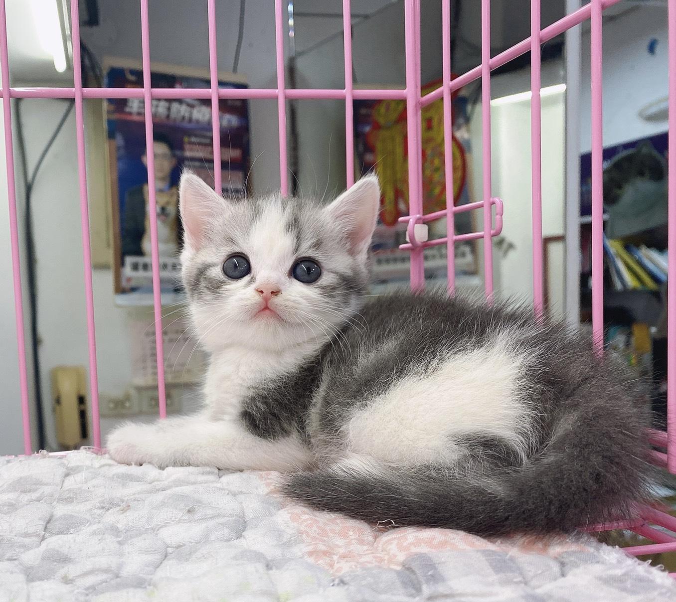 旻利寵物坊/美國短毛貓🐱賓士加白弟弟
