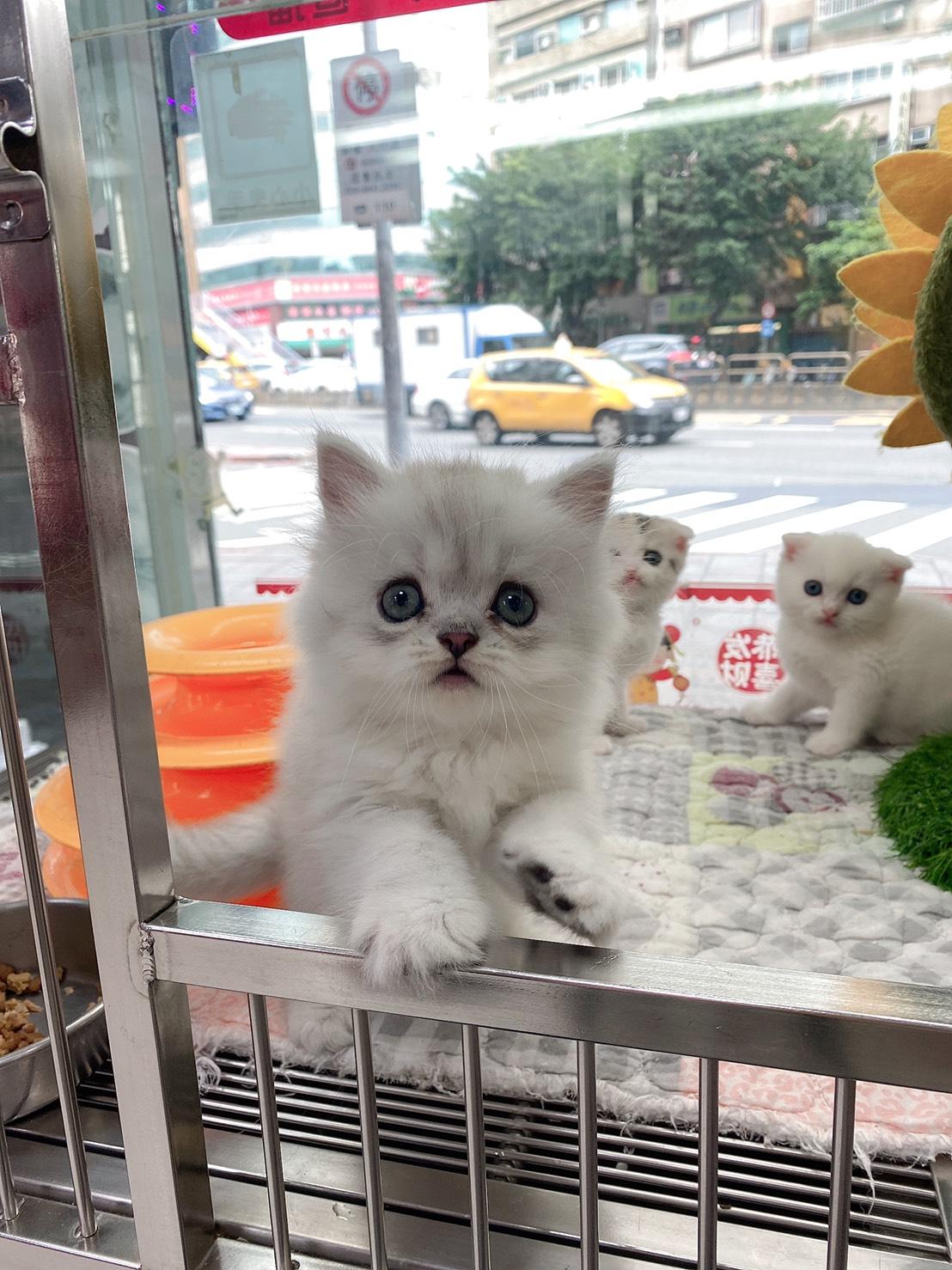 旻利寵物坊/金吉拉🐱銀白弟弟