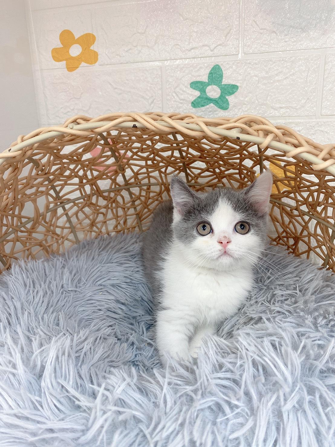 旻利寵物坊/英國短毛貓🐱藍白色弟弟