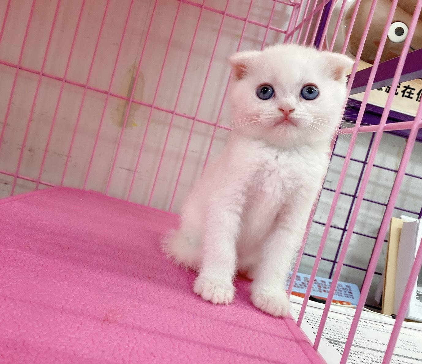 旻利寵物坊/蘇格蘭折耳貓🐱白色弟弟