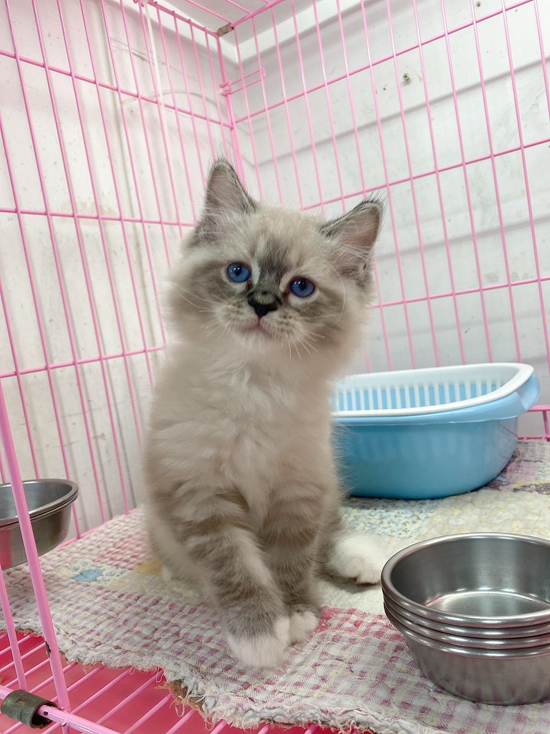 旻利寵物坊/布偶貓🐱山貓手套弟弟