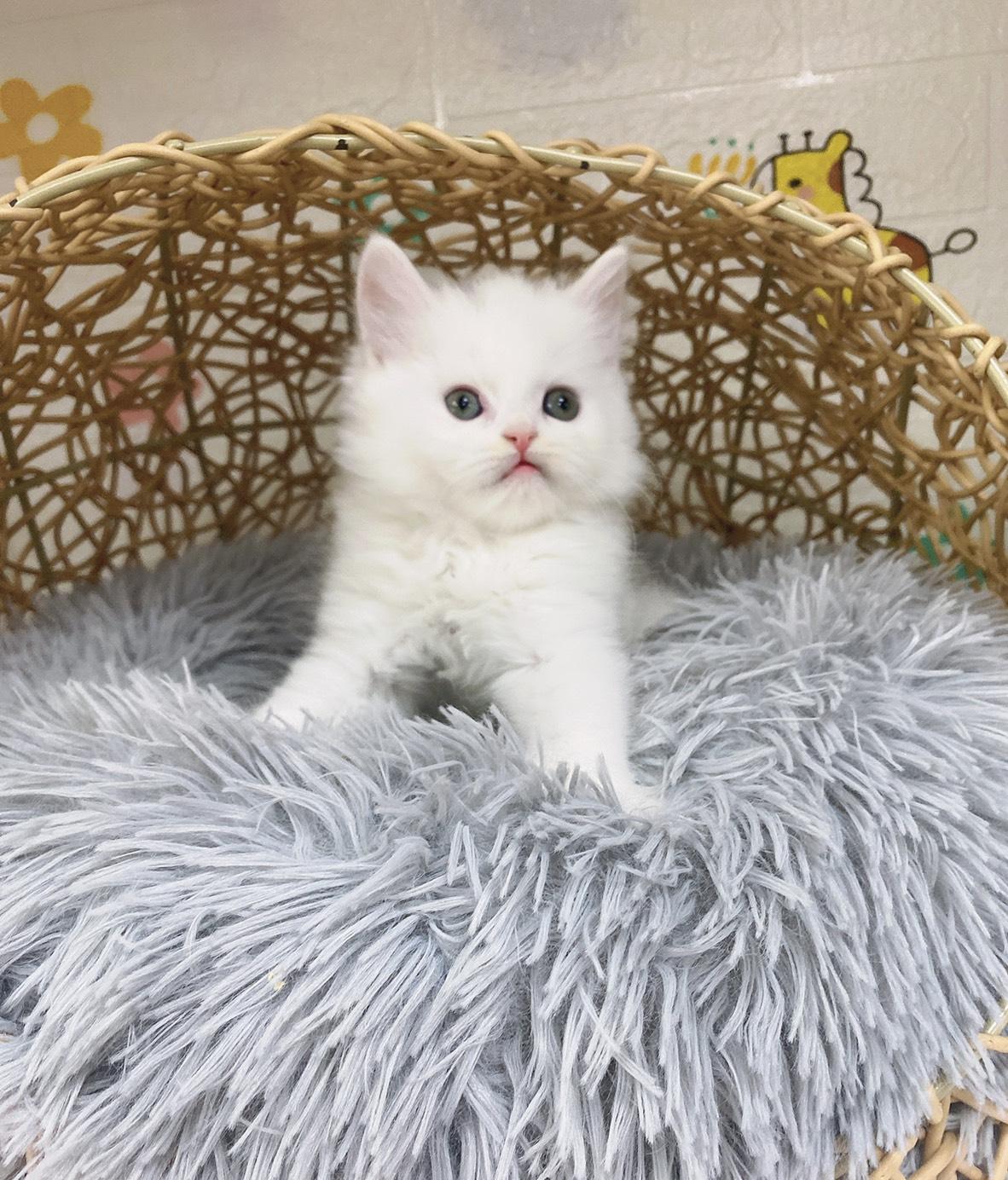 旻利寵物坊/波斯貓🐱白弟弟