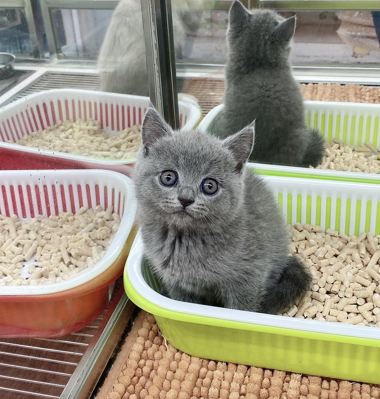 旻利寵物坊/英國短毛貓🐱藍色妹妹