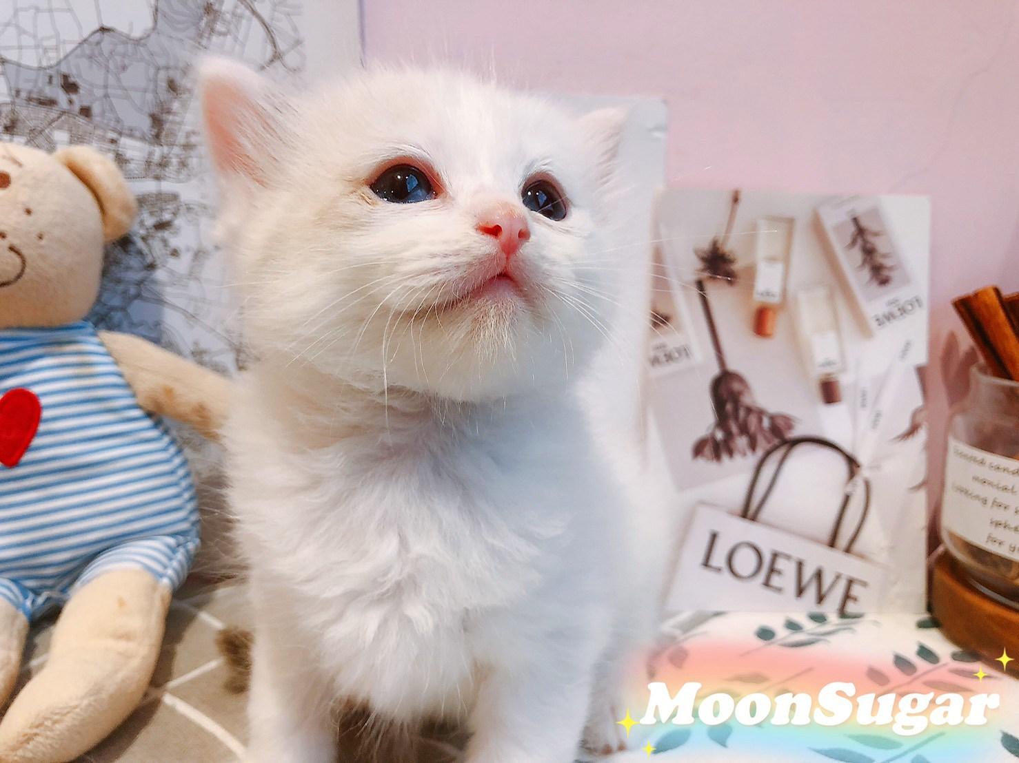 月亮糖糖喵樂園/梵色布偶貓弟弟