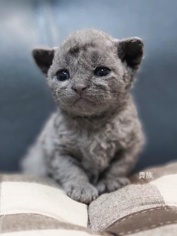貴族寵物坊/雷克斯捲毛貓