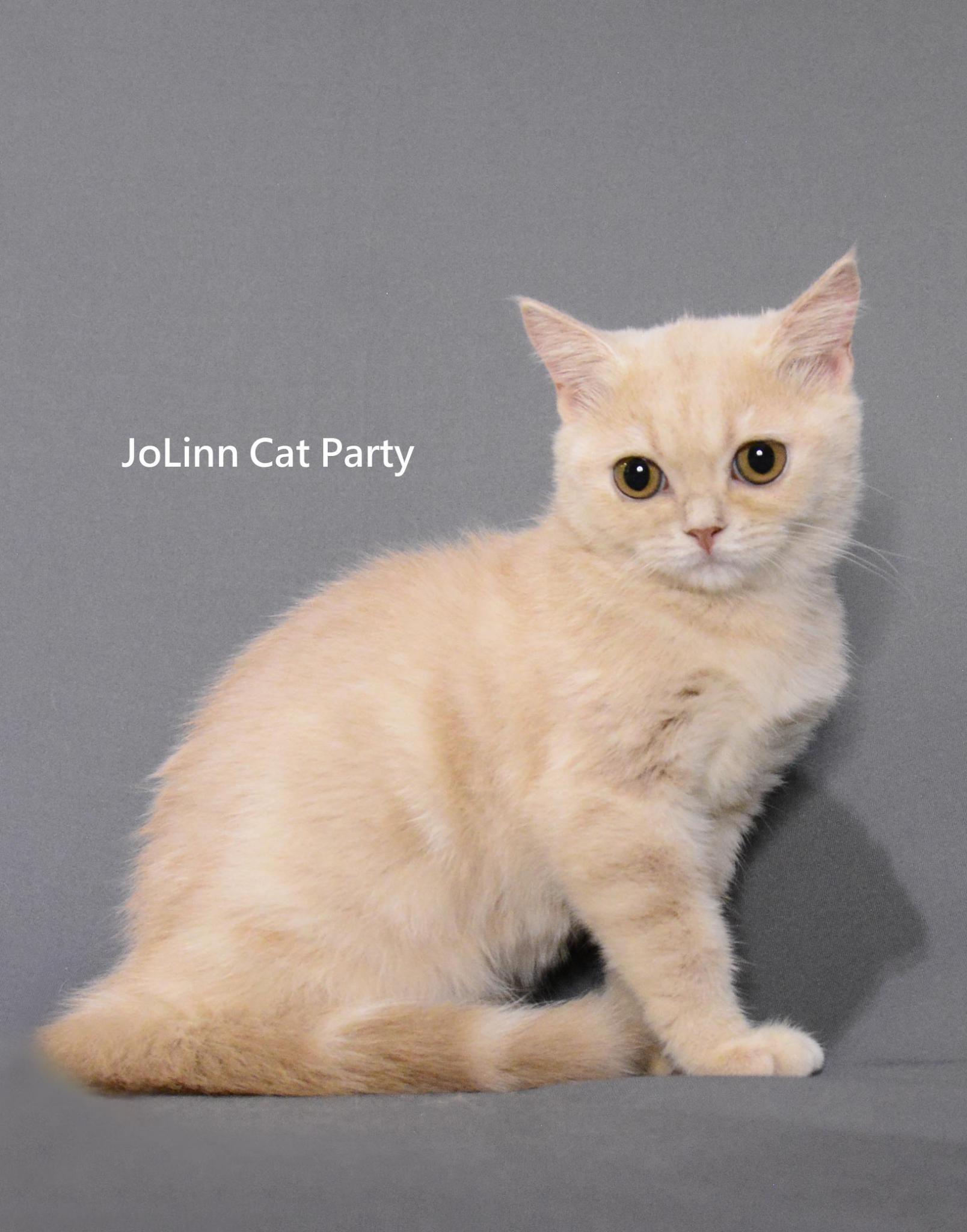 貓咪派對/奶油英短女生