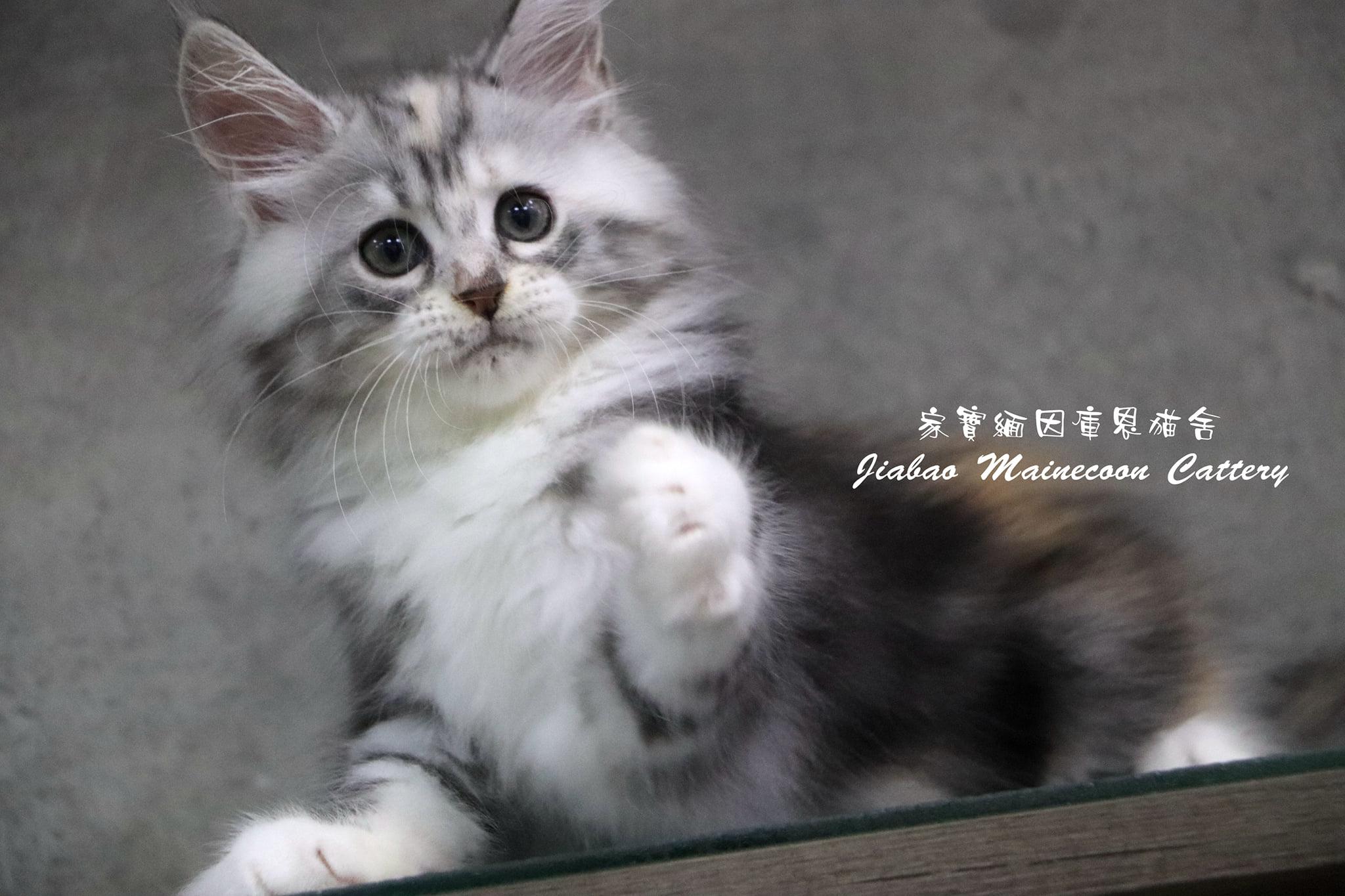 家寶寵物/銀虎斑三花 緬因貓