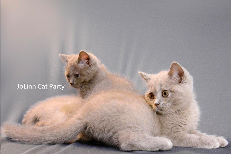 貓咪派對/紫丁香英國短毛貓