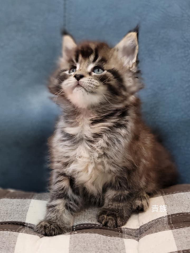 貴族寵物坊/棕虎斑 緬因貓