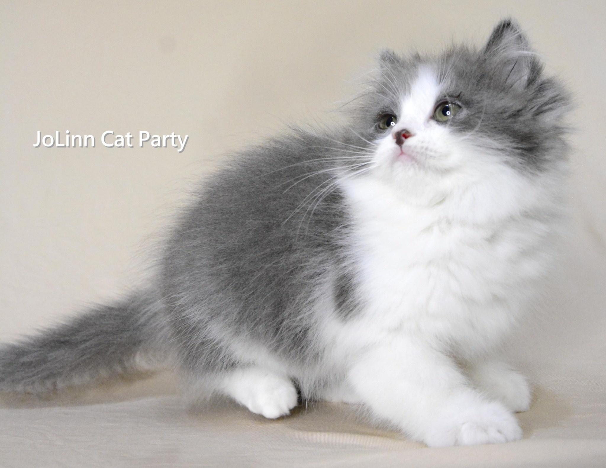 貓咪派對/藍白正賓士英國長毛貓