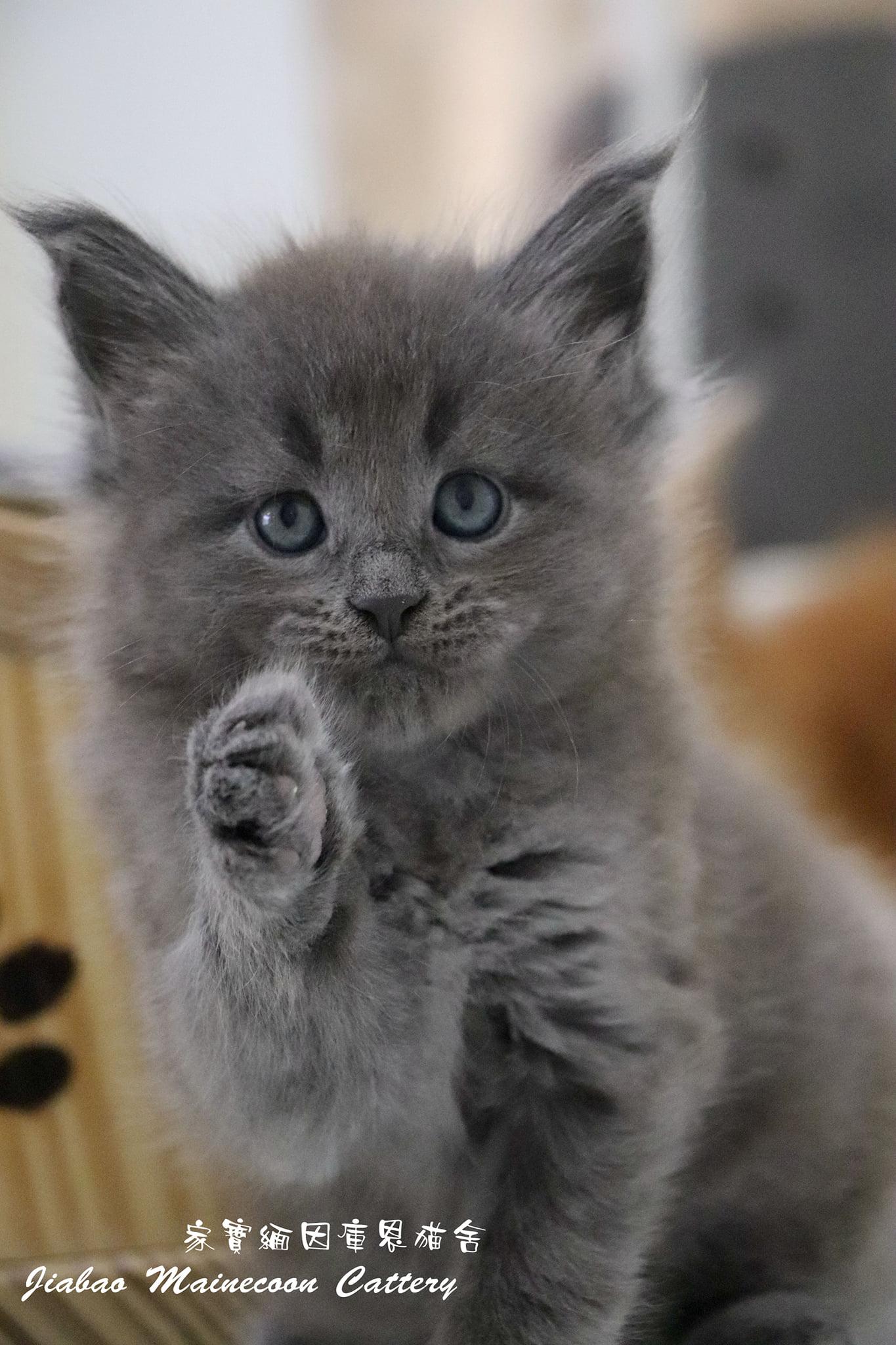 家寶寵物/藍色緬因 男生