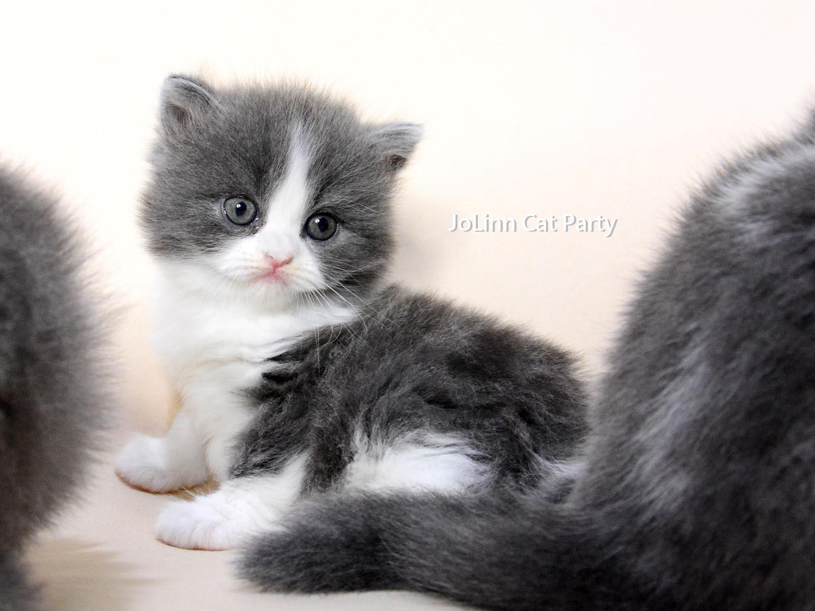 貓咪派對/藍色 藍白賓士英國長毛貓