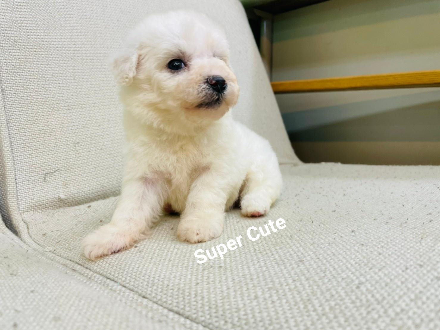超可愛名犬社/超可愛的小比熊