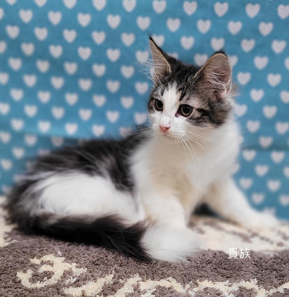 貴族寵物坊/棕虎斑賓士挪威森林貓