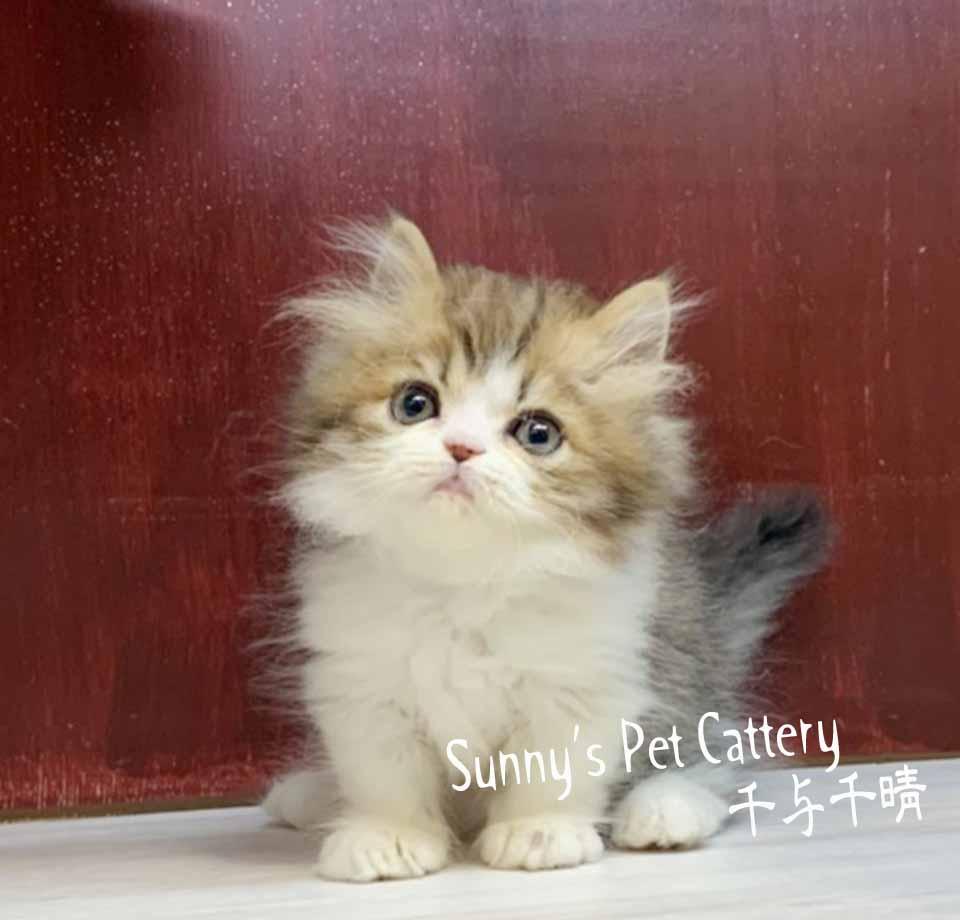 千晴寵物坊/黃金琥珀 小步舞曲短腿貓