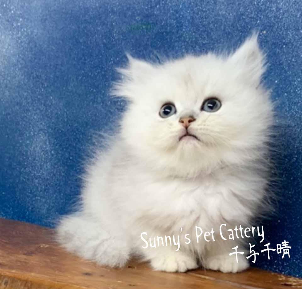 千晴寵物坊/粉嫩紅磚鼻 銀白波斯貓
