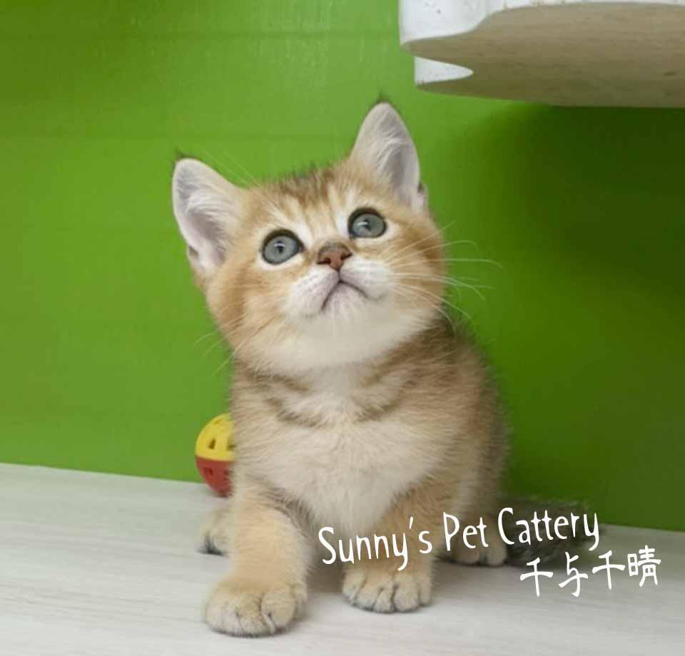 千晴寵物坊/金漸層 英國短毛貓