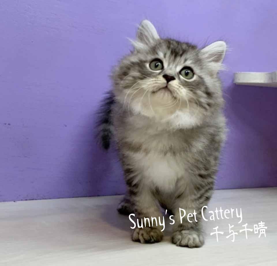 千晴寵物坊/黑銀虎斑 波斯貓